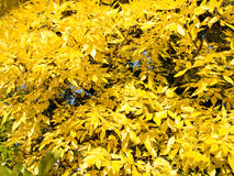 Foliage. Autumn leaves ash close up Royalty Free Stock Photos