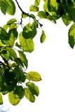 Foliage. Green freshness foliage in summer garden closeup Royalty Free Stock Photography
