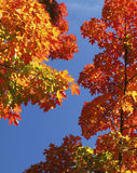 Foliage. Colorful Foliage in the Fall Royalty Free Stock Images
