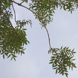 Foliage. Abstract detail of foliage and twigs of a willow tree against the blue sky stock photos