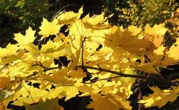 Foliage of Acer platanoides. September foliage of Acer platanoides (Norway maple Stock Images