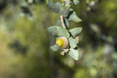 Foliage and acorns of Holm Oak Royalty Free Stock Image