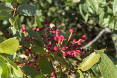 Foliage And Fruits Of Terebinth, Pistacia Terebinthus