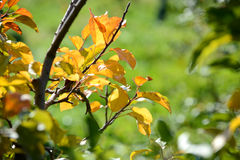 Foliage of Apple Tree in the Fall Stock Images