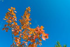 Red autumn aspen leaves against the sky Royalty Free Stock Photo