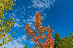 Red autumn aspen leaves against the sky Stock Images