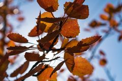 Red autumn aspen leaves against the sky. Foliage of an aspen against the sky in the autumn Stock Images