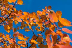 Red autumn aspen leaves against the sky. Foliage of an aspen against the sky in the autumn Royalty Free Stock Images