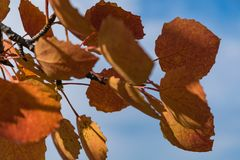 Red autumn aspen leaves against the sky. Foliage of an aspen against the sky in the autumn Royalty Free Stock Photos