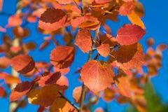 Red autumn aspen leaves against the sky Stock Photo
