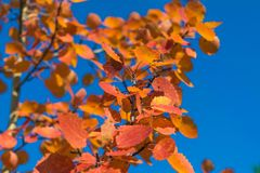 Red autumn aspen leaves against the sky. Foliage of an aspen against the sky in the autumn Royalty Free Stock Photo