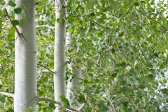 Foliage of aspen grove trees. Green foliage and white trunks of quaking aspen trees, pure and simple stock photos