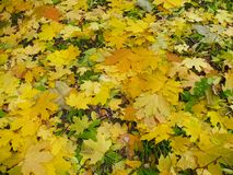Foliage. Yellow green autumn leaves on the ground royalty free stock photography