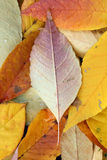 Foliage Autumn Royalty Free Stock Image