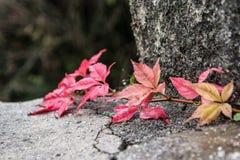 Foliage. Autumnal foliage on the stones Royalty Free Stock Images