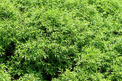 Foliage background. Dense fresh foliage of the willow royalty free stock images