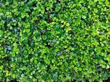 Foliage background. Royalty Free Stock Images