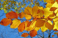 Foliage, Beech, Leaves, Fall Stock Photography