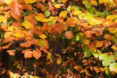 Foliage of a beech tree in detail stock photography