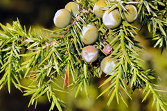 Foliage and berries of common juniper (Juniperus communis) Stock Photos