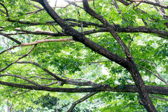 Foliage and bough of a green large tree Royalty Free Stock Images
