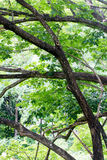 Foliage and bough of a green large tree Royalty Free Stock Photography