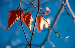 Foliage on the branch in sunlight. Brown foliage on the branch in sunlight against the blue sky. lovely autumn background royalty free stock photography