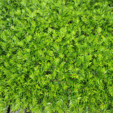 Foliage of bushes. Natural green background. Royalty Free Stock Photos