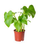 Foliage of Calla Lily flower in pot is isolated on white background, close up royalty free stock image