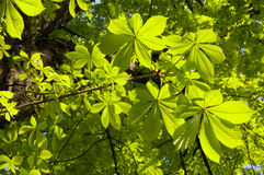 The foliage of a chestnut Royalty Free Stock Image