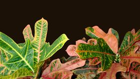 Foliage of Codiaeum Variegatum, Croton with variegated colorful leaves isolated on dark background. Foliage of Codiaeum Variegatum. Croton isolated on dark royalty free stock images