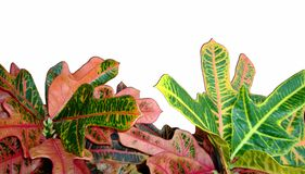Foliage of Codiaeum Variegatum, Croton with variegated colorful leaves isolated on white background. Foliage of Codiaeum Variegatum. Croton isolated on white royalty free stock photo