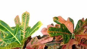 Foliage of Codiaeum Variegatum, Croton with variegated colorful leaves isolated on white background. Foliage of Codiaeum Variegatum. Croton isolated on white royalty free stock image