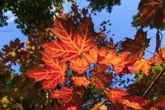 Foliage coloring in autumnin Algonquin Provincial Park stock photos