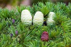 Foliage and cones of Himalayan cedar Stock Photos
