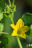 Foliage of cucumber Royalty Free Stock Images