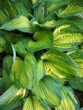 Foliage of decorative plant Hosta (Funkia). Royalty Free Stock Photos