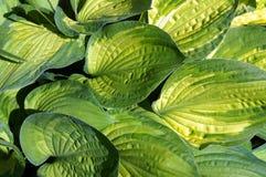 Foliage of decorative plant  Hosta (Funkia). Stock Photo