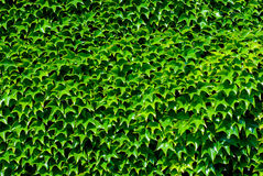 Green foliage texture closeup Stock Photography