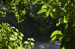 Foliage detail. Backlit green foliage detail in the woods Royalty Free Stock Images