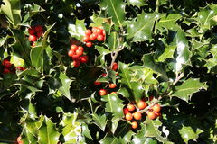 Foliage and drupe of holly in winter. Ilex aquifolium Royalty Free Stock Photography