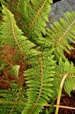Foliage evergreen fern. The delicate foliage of the evergreen of semi evergreen bracken polystichum setiferum Royalty Free Stock Images