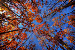 Foliage in the fall, view from below Stock Images