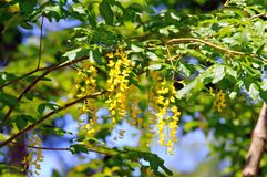 Foliage and flowers of common laburnum. (Laburnum anagiroides Royalty Free Stock Photography