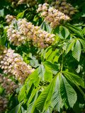 Foliage and flowers of horse-chestnut Aesculus hippocastanum royalty free stock photo