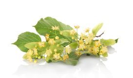 Foliage and flowers of linden Royalty Free Stock Image