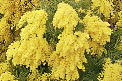 Mimosa in bloom Stock Photography