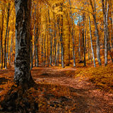 Foliage. Forest in Autumn - Foliage refers to the leafy parts of a tree or plant Stock Photo