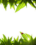 Foliage Frame. With orange-tree leafs and ladybug Royalty Free Stock Photography