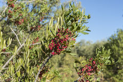 Foliage and fruits of Mastic tree, Pistacia lentiscus Royalty Free Stock Photos